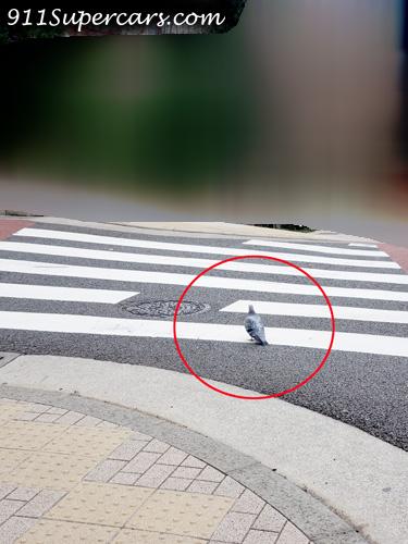 横断歩道を渡る鳩 横断歩道 鳩 歩く鳩 鳩よけない